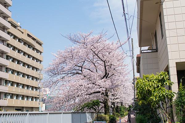 氷川台、石神井川沿いの桜