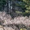 氷川台、城北公園の梅の開花が進んでます