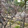 氷川台、城北公園の梅が咲き始め