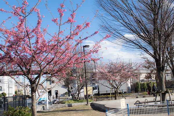 上板橋と東武練馬の中間にある電車の見える公園の梅とハヤ桜  2017年2月12日撮影