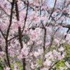 新宿御苑の桜に感じる民泊への不安
