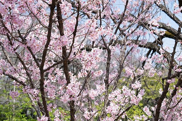 新宿御苑の桜 2017年3月25日