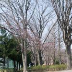 氷川台、城北公園の桜も咲き始めました!