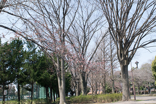 氷川台 城北公園 桜の咲き始め 2017年3月28日