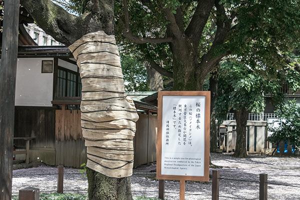 靖国神社 桜の標本木 2016年 4月 桜の終わり頃