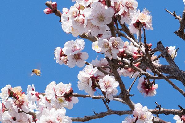 赤塚霊園の梅と蜂 2017年3月11日撮影