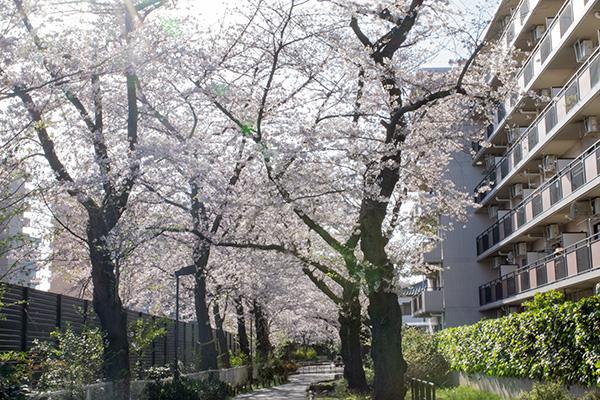 練馬区 田柄緑道の桜並木 2017年4月7日