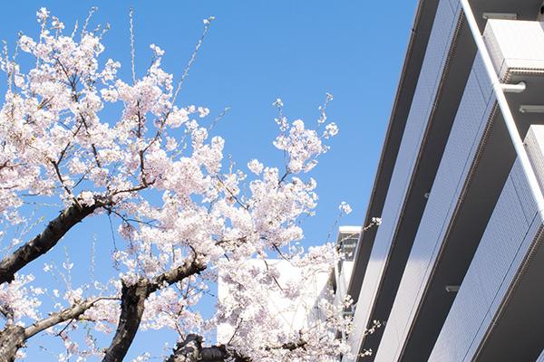 マンションと桜、2017年4月上旬 撮影