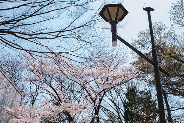 氷川台 城北公園 桜と街燈 2017年4月5日