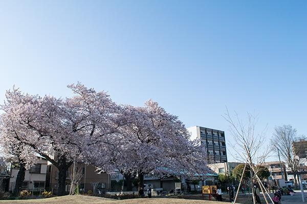 電車の見える公園の桜 2017年4月7日