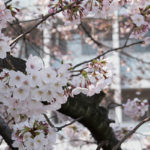 埼玉4区で桜が見たい!氷川台の桜が恋しい~