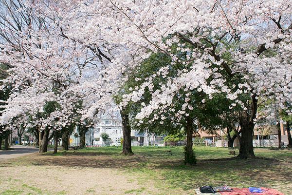 氷川台、城北公園の桜 2017年4月4日