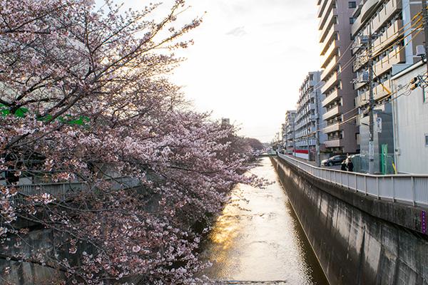 氷川台、夕暮れ時の石神井川沿いの桜 2017年4月2日