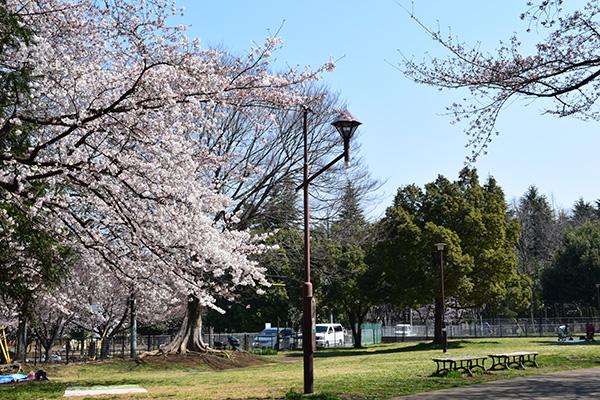 ほぼ満開、氷川台城北公園の桜 2017年4月4日