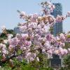 青山霊園で都心の桜を満喫・・・そしてヤマギワ、フランフランと青山づくし