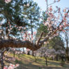 城北公園、桜はまだですが梅の散りぎわが美しい