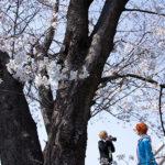 黒目川の桜は3月下旬の今、まだ蕾、見頃はもう少し先?